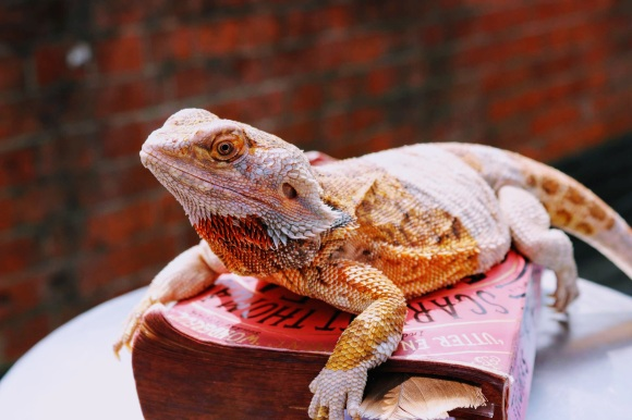 Meet 'Sif' the bearded dragon enjoying the sun