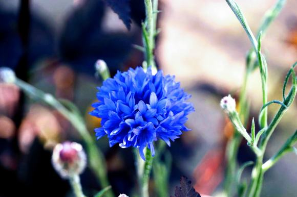 a single bright irridescent blue cornflower head