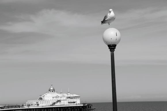 eastbourne pier in the background. Seagull standing on a lamppost in the foreground. a black and white picture
