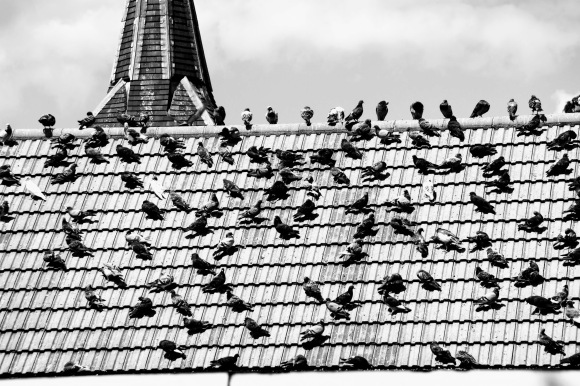 a black and white picture of scores and scores of pigeons perched on a tiled roof, basking in the sun. a church steeple in the background