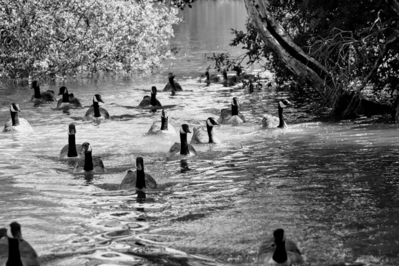 a black and white picture of canada geese in a V formation swimming towards the river bank