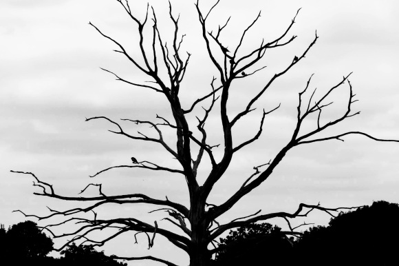 a black and white photo of a (presumably) dead tree as it has no foliage. A fe black birds are perched on some of the outlying branches