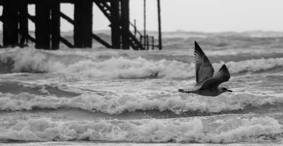 a black and white photo of a young seagull, amid wing, with the scrolling waves underneath