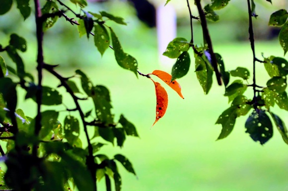 two autumnal reddish leaves amid the green leaves yet to change