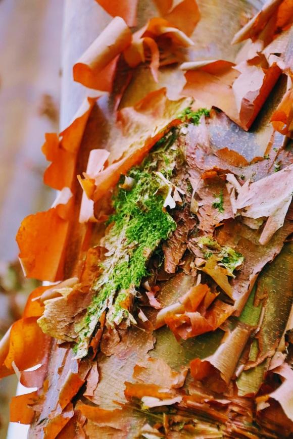 peeling rusting bark on an acer 'Acer Griseum' in Westonbirt Arboretum