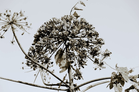a sepia toned picture of the dead flower head of a giant cow parsley. estimated height is around 8 foot off the ground